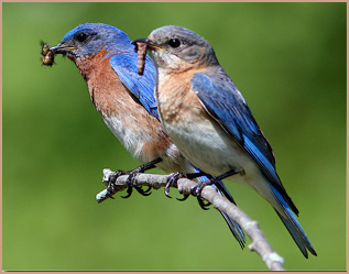 pair of bluebirds with worms in their mouths